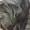 Продаются щенки Неаполитанского Мастифа (п.Пригородный) #1502619