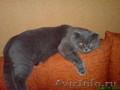 Шотландский вислоухий кот приглашает кошечек на вязку