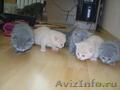 Голубые и кремовые шотландские котята