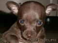 Продам  очень красивых щенков той-терьера