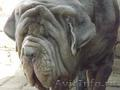 Продаются щенки Неаполитанского Мастифа (п.Пригородный)